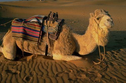 Camel_1