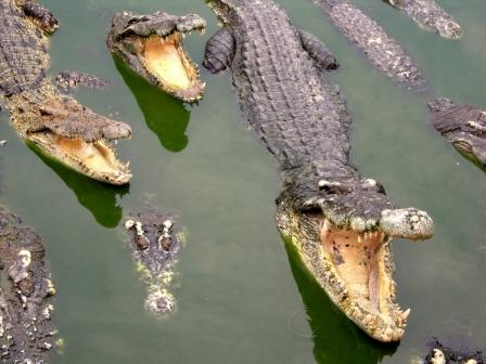 external image crocodiles.jpg