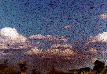 locusts_2.jpg